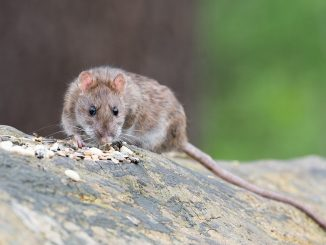 brown-rat-2115585_960_720