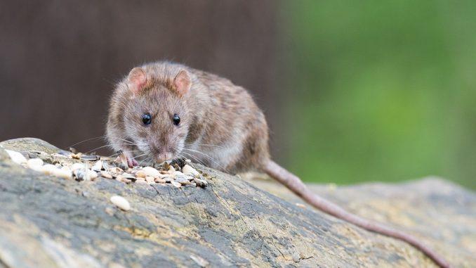 brown-rat-2115585_960_720